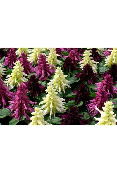 Plantistanbul Ateş Çiçeği Karışık Renk Çiçek Tohumu +-35 Adet