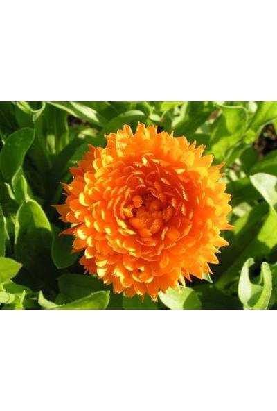 Plantistanbul Katmerli Şamdan (Aynısafa) Çiçeği Turuncu Renk Çiçek Tohumu +- 300 Adet