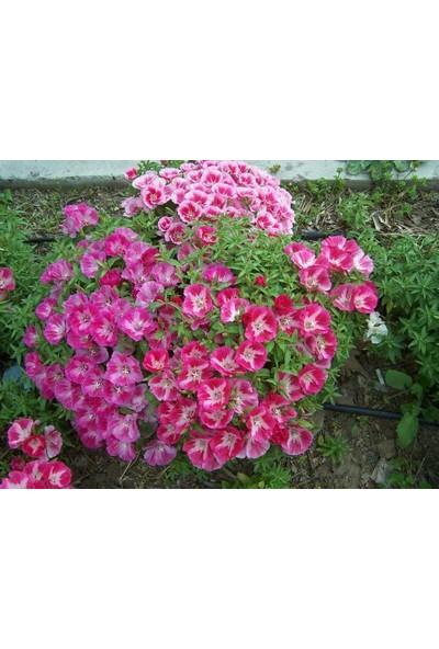 Plantistanbul Bahçe Açelyası Çiçeği Karışık Renk Çiçek Tohumu +-50 Adet