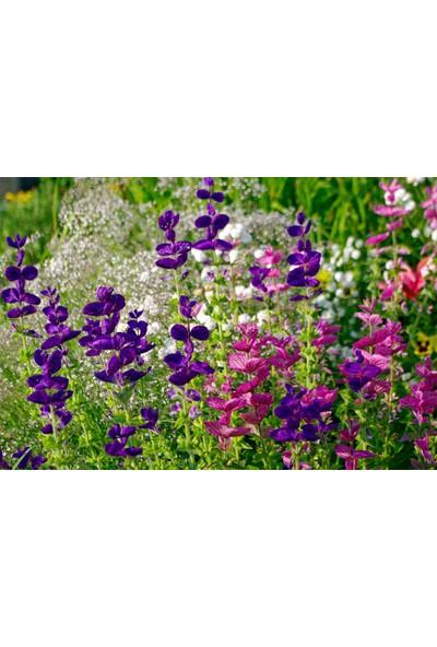 Plantistanbul Adaçayı Çiçeği Karışık Renk Çiçek Tohumu +-350 Adet