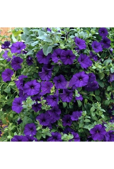 Plantistanbul Eflatun Alderman Violet Bodur Petunya Çiçeği Tohumu +-800 Adet