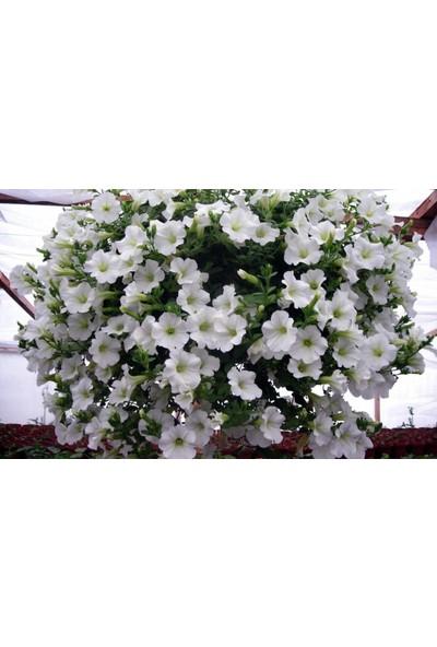 Plantistanbul Petunya Çiçeği Beyaz Renk Çiçek Tohumu +-50 Adet