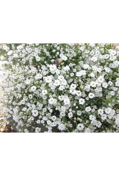 Plantistanbul Bahar Yıldızı Çiçeği Karışık Renk Çiçek Tohumu ++1100 Adet