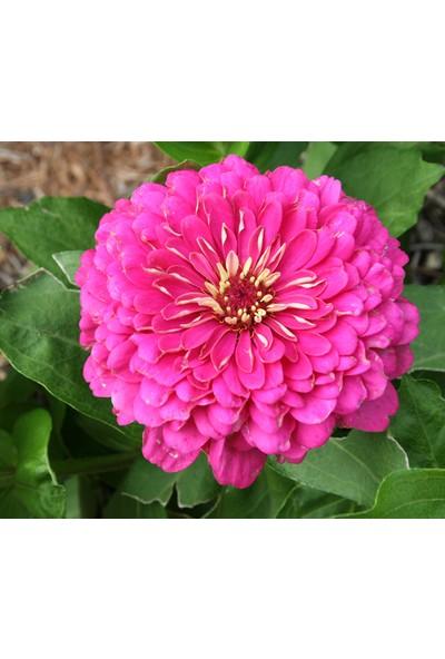 Plantistanbul Zinnia (Kirli Hanım Çiçeği) Pembe Renk Çiçek Tohumu +-40 Adet