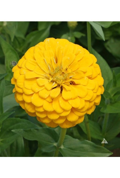 Plantistanbul Zinnia (Kirli Hanım Çiçeği) Sarı Renk Çiçek Tohumu +-20 Adet