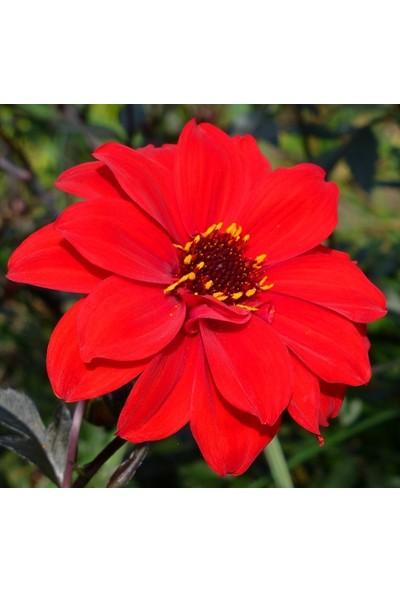 Plantistanbul Yıldız Çiçeği Dalya Karışık Renk Çiçek Tohumu +- 80 Adet