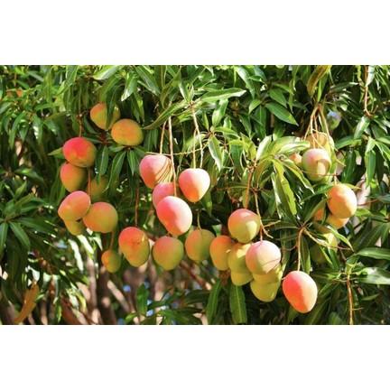 3eb9a66503415 Plantistanbul Mango Fidanı, Tüplü Fiyatı - Taksit Seçenekleri