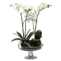 Altıncı Cadde Cam Saksılı Orkide Beyaz