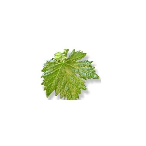 Dalından Koptu Asma Yaprağı Salamura (500 Gr)