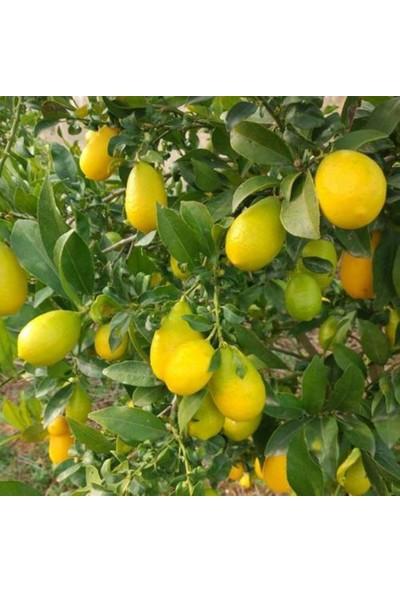 Tüplü Aşılı Lime Quat (Çekirdeksiz Limon) Fidanı 2 Yaş 90-110 cm Boy