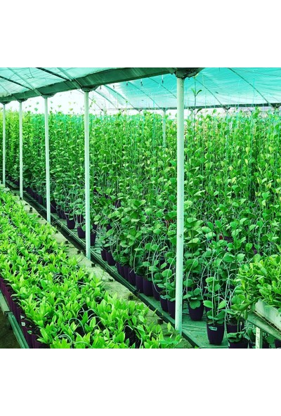 Akdeniz Tarım Hoya Obavata 1,5 Metre Kokulu Mum Çiçeği Bitkisi