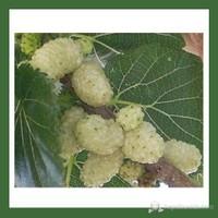 Plantistanbul Dut Fidanı, Beyaz Aşılı, Tüplü, +120Cm