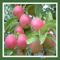 Plantistanbul Elma Fidanı, Amasya Aşılı, Açık Kök, +120Cm