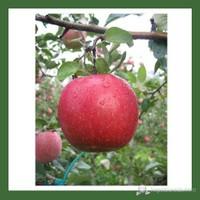 Plantistanbul Elma Fidanı, Fıji Kiku Aşılı, Açık Kök, +120Cm