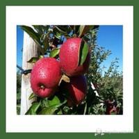 Plantistanbul Elma Fidanı, Erken Kırmızı Aşılı, Açık Kök, +120Cm