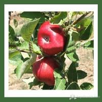 Plantistanbul Elma Fidanı, Jersej Mac Aşılı, Açık Kök, +120Cm