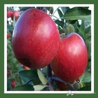 Plantistanbul Elma Fidanı, Amasya Aşılı, Tüplü, +120Cm
