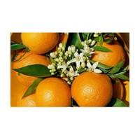 E-Fidancim Tüplü Üzeri Çiçekli Meyve Verme Durumunda Rize Portakalı