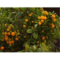 E-Fidancim Meyveli Süs Mandalinası Fidanı