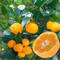 E-Fidancim Özel Nadir Tüplü Meyveli İri Ve Yuvarlak Kamkat Fidanı Meyve Verme Yaşında