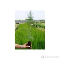 Plantistanbul Fıstık Çamı Fidanı Nikah Çamı 15/25Cm 10 Adet