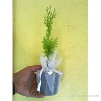 Plantistanbul Mazı Fidanı 7/15 Cm 10 Adet
