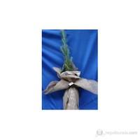 Plantistanbul Fıstık Çamı Fidanı 7/15 Cm 10 Adet Süslü