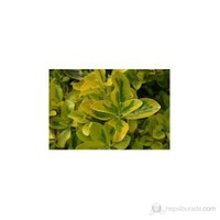 Plantistanbul Euonymus Japonica Taflan Fidanı 5-10 Cm 10 Adet
