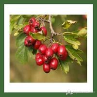Plantistanbul Alıç Fidanı Kırmızı Tüplü