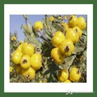 Plantistanbul Alıç Fidanı Sarı Tüplü