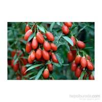 Plantistanbul Goji Berry Fidanı Tüplü