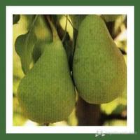 Plantistanbul Armut Fidanı, Koscıa Coscıa Aşılı, Açık Kök, +120Cm