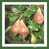 Plantistanbul Armut Fidanı, June Beauty Aşılı, Tüplü, +120Cm