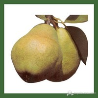 Plantistanbul Armut Fidanı, Wıllıams Aşılı, Tüplü, +120Cm