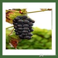 Plantistanbul Asma Üzüm Fidanı, Çekirdeksiz Siyah Tüplü