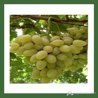 Plantistanbul Asma Üzüm Fidanı, Hatun Parmağı Tüplü