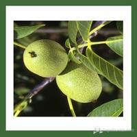 Plantistanbul Ceviz Fidanı, Franquette Aşılı, Tüplü