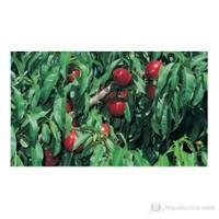 Plantistanbul Şeftali Fidanı, Sweet Lady Aşılı, Tüplü, +120Cm