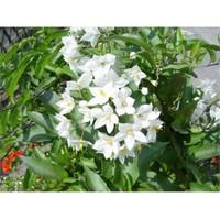 Plantistanbul Beyaz Yasemin Fidanı