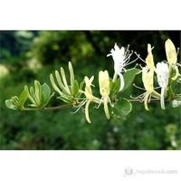 Plantistanbul Lonicera Caprifolium- Hanımeli Fidanı