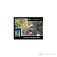 Plantistanbul Cupressus Sempervirens-Mezarlık Servisi Fidanı