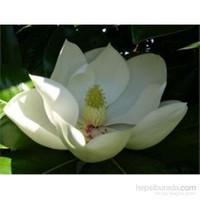 Plantistanbul Magnolia Grandiflora-Manolya Fidanı