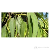 Plantistanbul Ökaliptus Fidanı