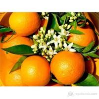 Plantistanbul Narenciye Fidanı Portakal Tüplü