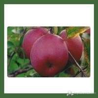 Plantistanbul Yarı Bodur Elma Fidanı, Fuji Aşılı, Tüplü, +120Cm
