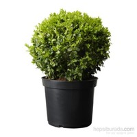 Plantistanbul Buxus Sempervirens- Şimşir Fidanı