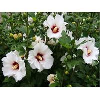 Tohhum Beyaz Hatmi Çiçeği Tohumu [Tohhum Ev Bahçe]