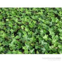 Plantistanbul Hedera Helix, Küçük Yeşil Yapraklı, Saksıda, 4 Adet