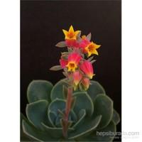 Plantistanbul Echeveria,Saksı Güzeli Bitkisi,+13 Cm