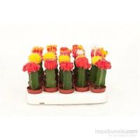 Plantistanbul Aşılı Kaktüs Çeşitleri, 10 Cm 4 Adet